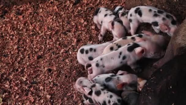 Újszülött malacok szoptatott sertések egy fából készült zárt vagy szopós malac kiskutya.
