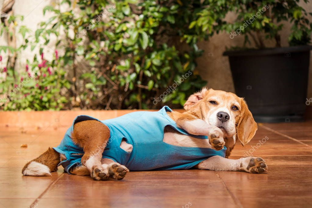 Dog with after-surgery cloth in garden