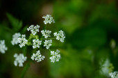 Macro of tiny white cow parsley flowers, selective focus with bokeh background. also known as wild chervil.