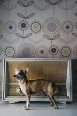 chihuahua dog with an radio background