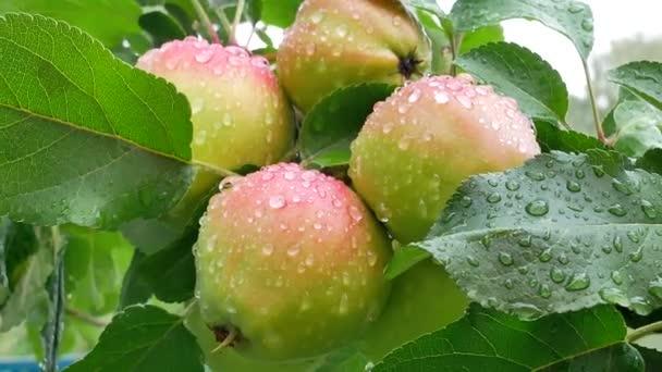 Šťavnatá jablka na větev stromu v jabloňový sad