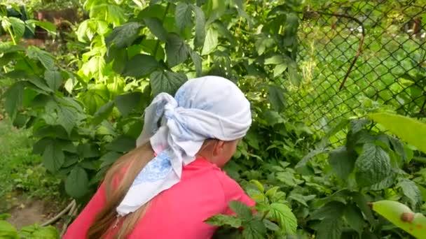 Kleines Mädchen pflückt auf Bio-Himbeerfarm frische Beeren vom Strauch