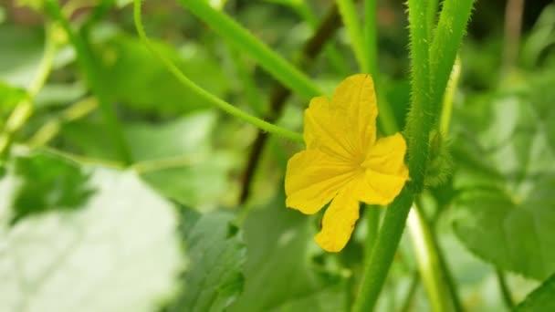 Sárga női virág növény mező uborka
