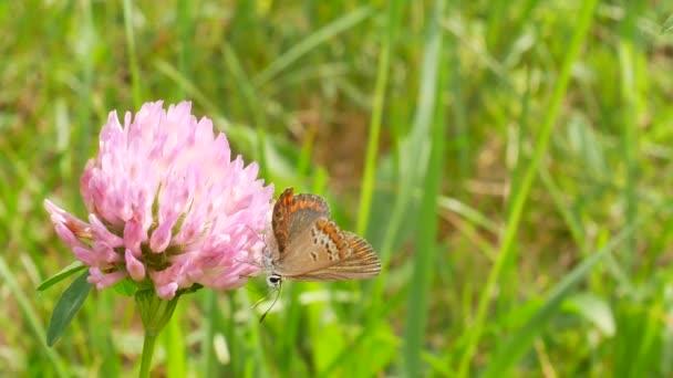 Egy barna pillangó orange Wings ül egy lóhere virág