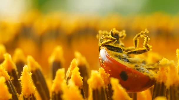 Červená Beruška s pylu na žluté slunečnice ve slunci