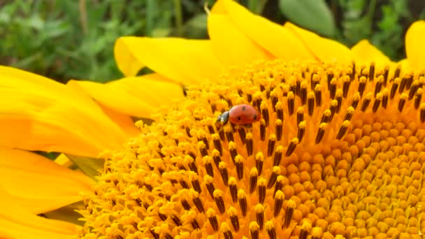 Ladybug or ladybird are running on yellow sunflower