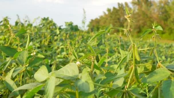 Farmer working in soybean field