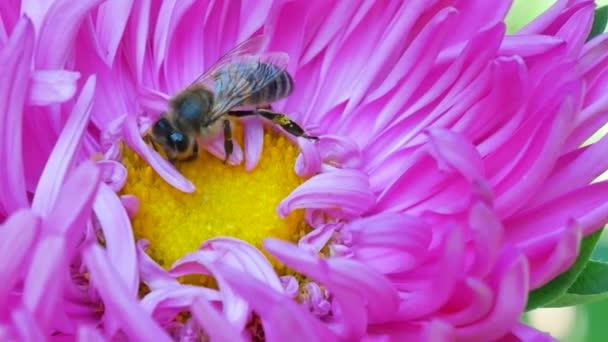 Honey Bee sběr pylu na růžové michaelmas daisy nebo kytička