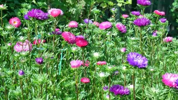 Lila és rózsaszín őszirózsák a kert virágzó