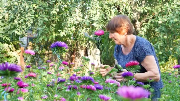 Virágüzlet nő a metszés lila és rózsaszín őszirózsák kerti olló