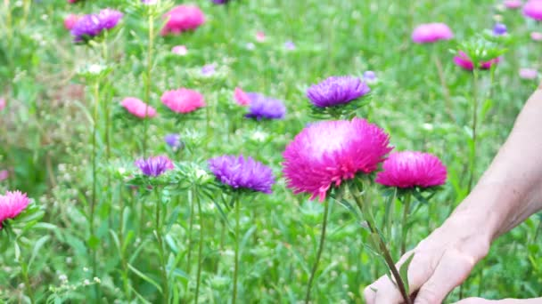 Květiny řezané květiny fialové a růžové Astry