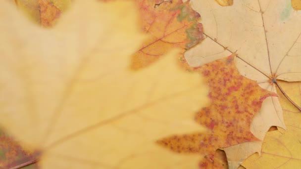 Őszi csökkenése sárga juharlevél