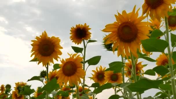 Rozkvetlé slunečnice květ na statku pole
