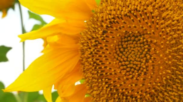 Slunečnicová pole krajina pro make slunečnicový olej