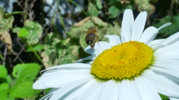 Honeybee on chamomile flower