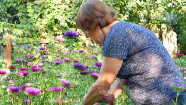 Florist woman is pruning violet and pink asters in garden