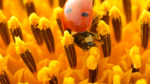 Červená Beruška s pylu na žluté slunečnice