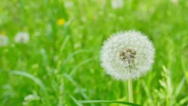 Closeup Pampeliška na přírodní pozadí