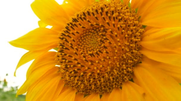 Blossoming Sunflower Flower on Farm Field