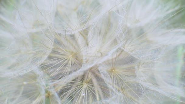 Chlupaté jemné Dandelví semena na zeleném pozadí v terénu