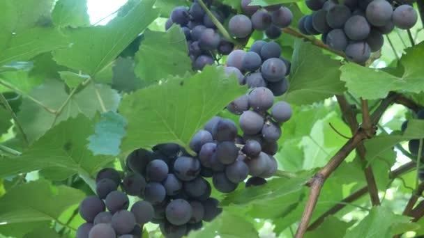 Tmavě fialová hroznová réva listnatých keřů