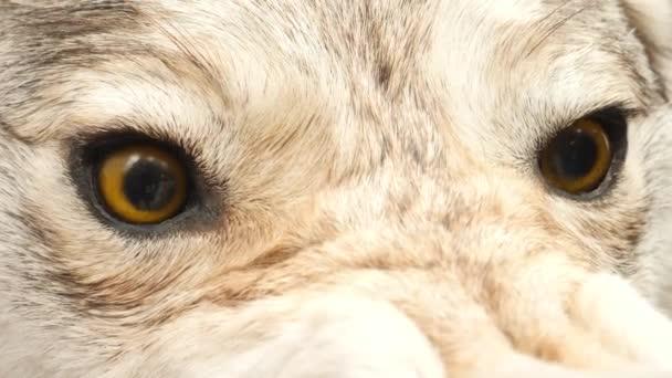 Agresivní plněná vlčí hlava se žlutýma očima