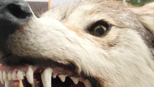 Aggressive Head of Stuffed Wolf