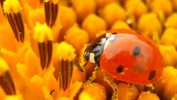 Beruška sedící na žluté slunečnice