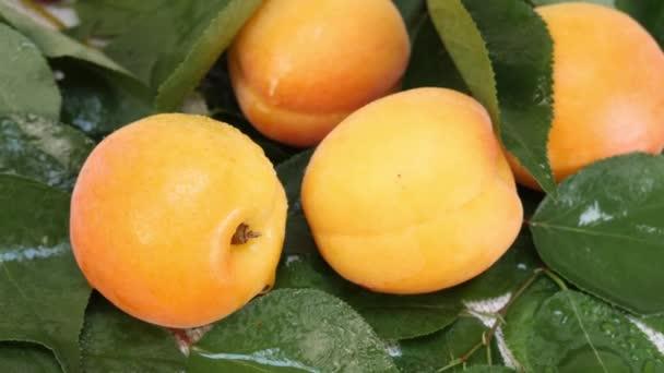 Finom friss sárgabarack Gyümölcs zöld levéllel