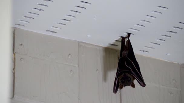 Großer oder malaiischer Flughund hängt unter Hausdach