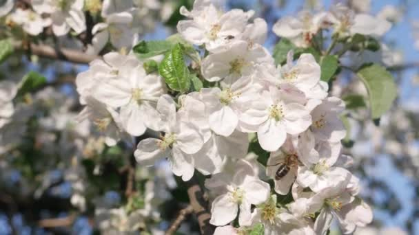 Honey Bee on Apple Tree in Spring with White Blossoms
