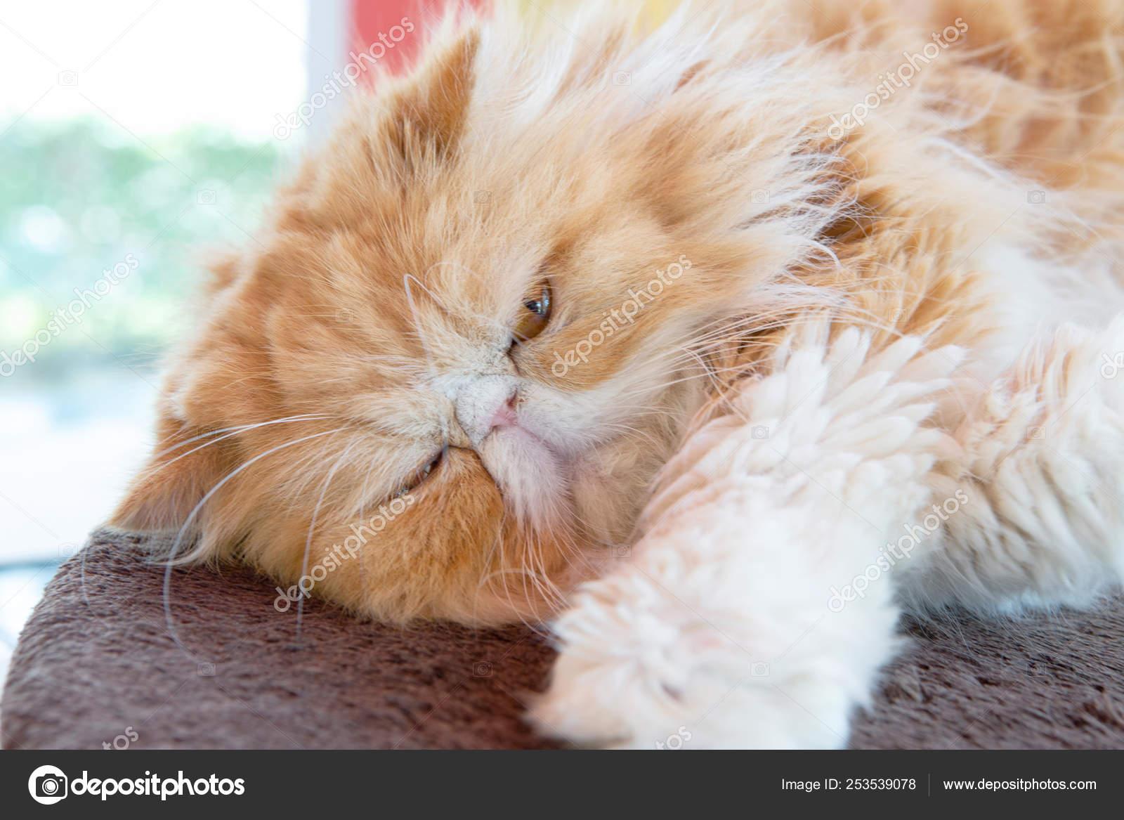 Yellowish Brown Persia Cat Lay Floor