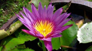 pink lotus flower on natural background