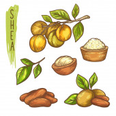 Sketch of shea nut and butter, branch with leaf