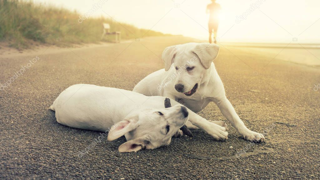 two cute labrador dog puppies play together while sunset on the shore of an island