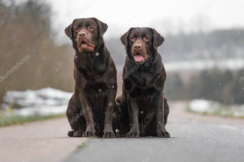 a22953ca07503a Twee Jonge Leuke Bruine Labrador Retriever Honden Puppies Zitten Grappig —  Stockfoto © manushot  206399038