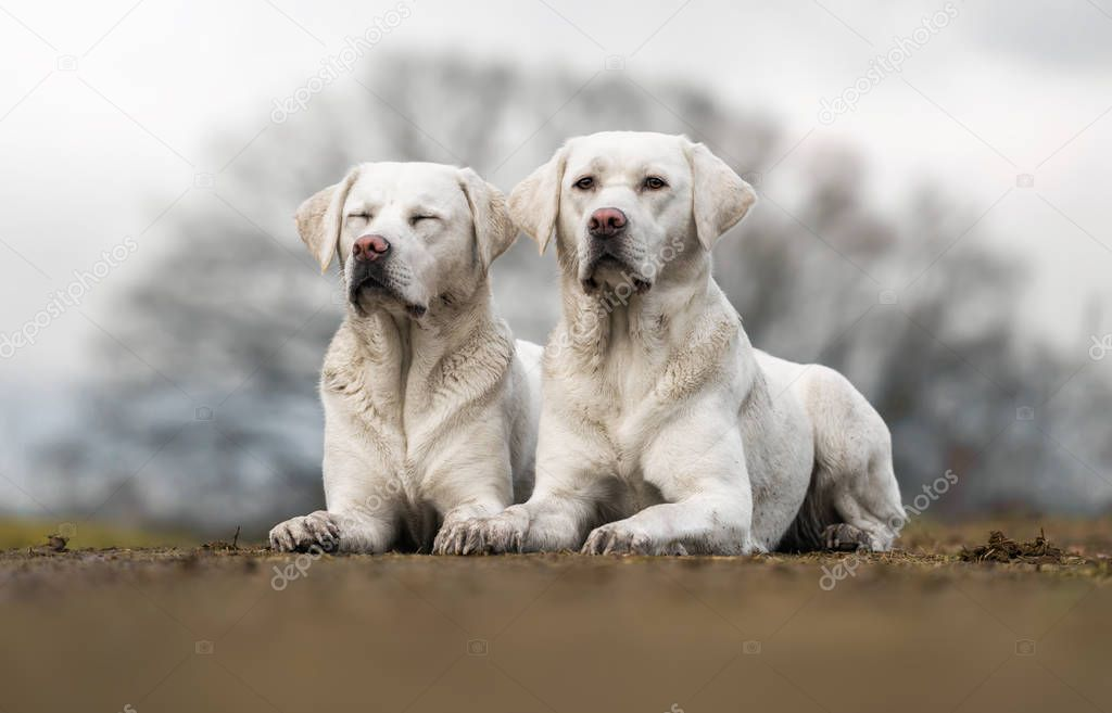 two cute white labrador retriever dogs puppies lying outdoors next to each other looking pretty