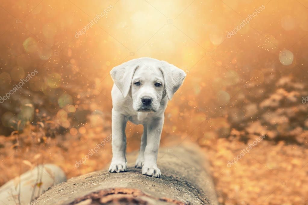 young cute labrador retriever dog puppy walking and looking pretty