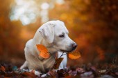 young cute labrador retriever dog puppy outdoors with copy space