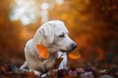 mladý roztomilý Labradorský retrívr štěně psa venku s kopií prostor