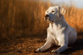 white young labrador retriever dog puppy looking very pretty