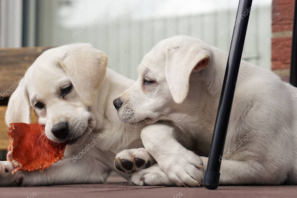 two cute young labrador dog puppies cuddling together on a balcony