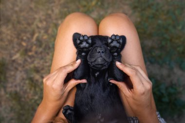young cute black labrador retriever dog puppy pet sleeping on woman with beautiful small paws