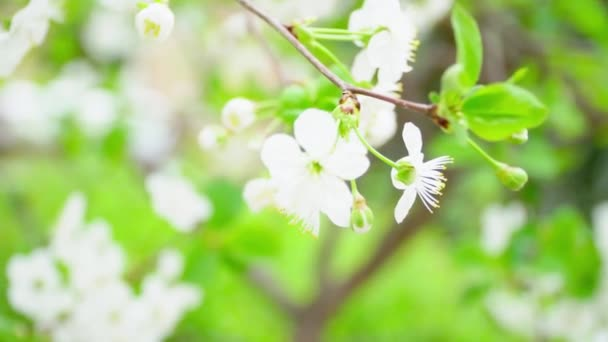 Flowering branch cherry with a light wind, close-up. Real time. Cherry flower petals on a sunny day