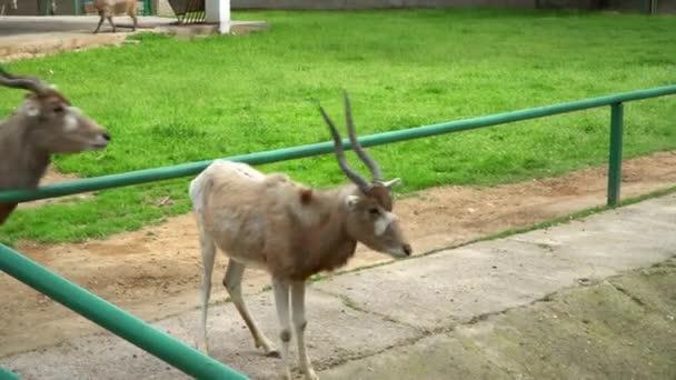 Čeleď sudokopytníků a koz v zoo. Koncepce-životy zvířat v zajetí