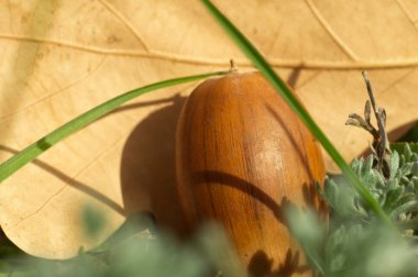 Oak autumn acorn closeup on the grass. Macro photo of autumn nature