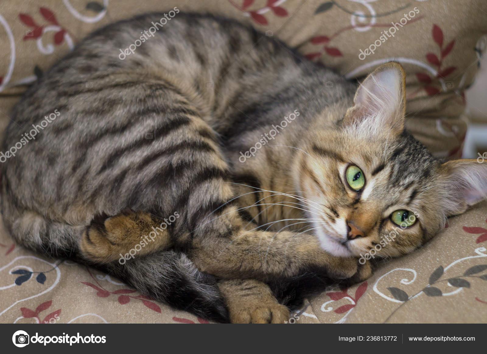 Cute portrait of a lazy sleeping striped beautiful cat