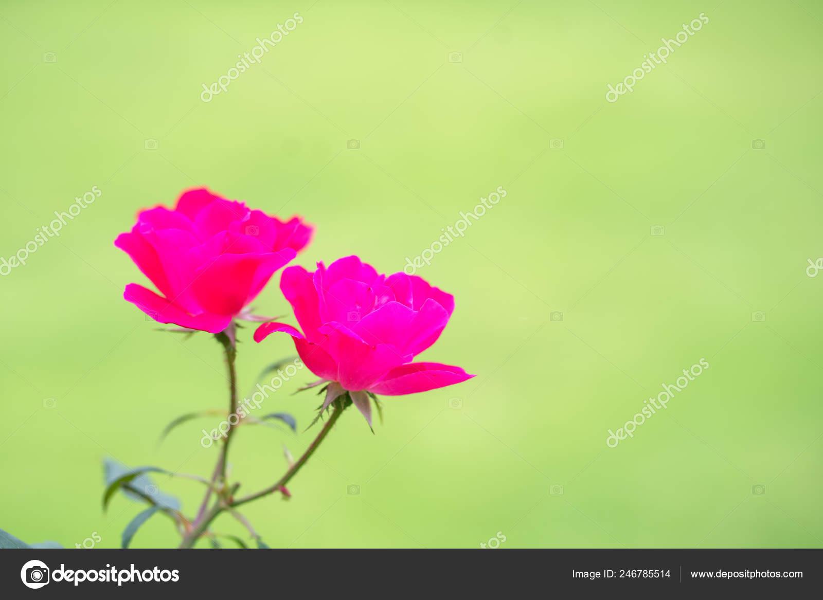 Closeup Natural View Pink Flower Summer Sunlight Garden Natural Seasonal Stock Photo C Paulfourk Gmail Com 246785514