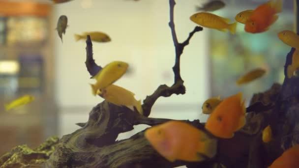viele Goldfische im Aquarium mit Algen