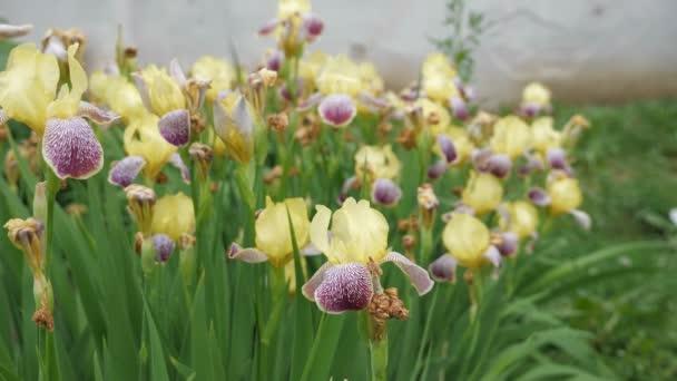 Velký záhon s krásné žluté kosatce